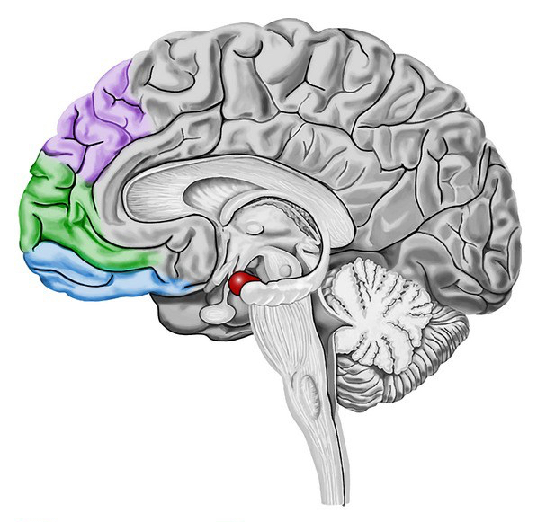 Amygdala-frontal-circuit-of-emotion-regulation-Prefrontal-cortex-seems-to-be-involved-in